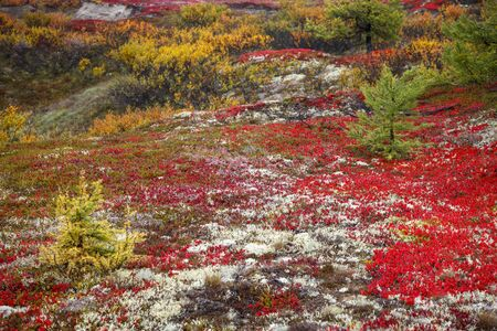 Autumn in the tundra. Yellow spruce branches in autumn colors on the moss background. Tundra, Kola peninsula, Russia.Beautiful landscape of forest-tundra, 免版税图像