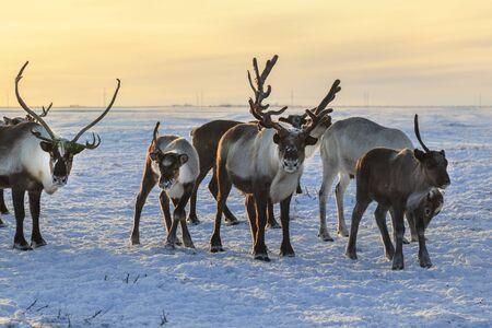 Herd of reindeer in winter weather, pasture reindeer Stock fotó