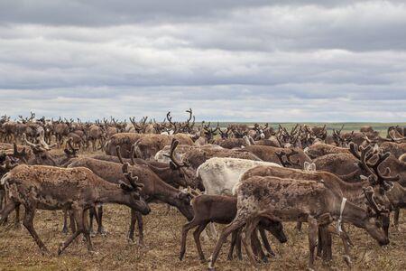 Der äußerste Norden, Yamal, Rentiere in der Tundra, Hirschgeschirr mit Rentieren, Weide der Nenzen