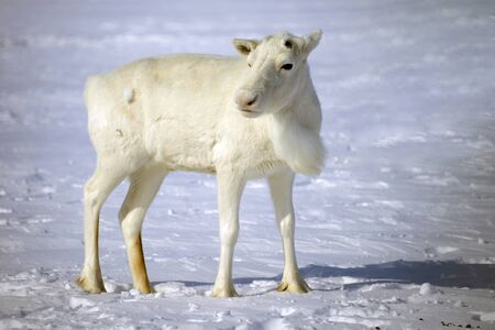 Tundra, Yamal Peninsula, far north, white reindeer, this is the mascot of the peoples of the north