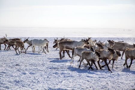 Far North, Yamal Peninsula,nord reindeers in motion  on the snow