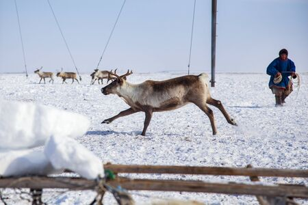Far North, Yamal Peninsula, Nentsy drive the reindeer, the man caught the deer by the horns 版權商用圖片