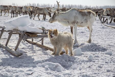 Far North, Yamal Peninsula, Northern dogs help catch reindeer 版權商用圖片