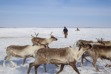 Far North, Yamal Peninsula, Nentsy drive the reindeer, the man caught the deer by the horns Stock fotó