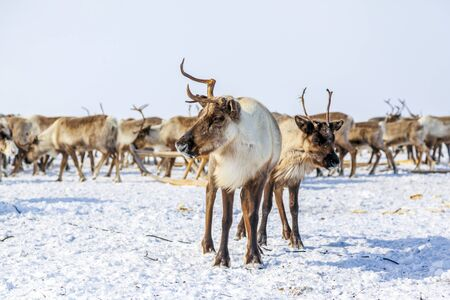 Far North, Yamal Peninsula, The reindeer stand close to each other