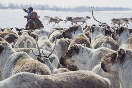 Far North, Yamal Peninsula, Nentsy drive the reindeer, assistant reindeer breeder.