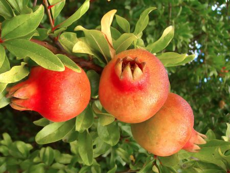 three pommegranate fruits hanging from the tree.