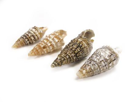 next to each other: Tibia sea shells allined next to each other isolated on a white background.