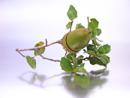 Branch of a Quercus Coccifera (Oak Tree) with an acorn isolated on a silver-white background. photo