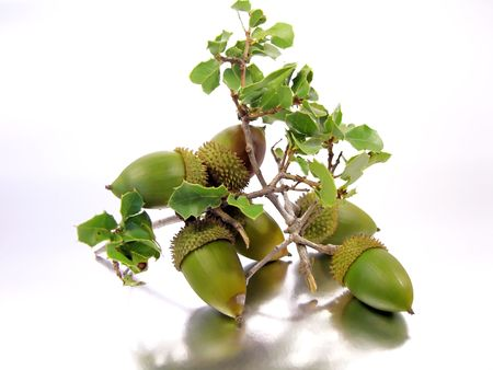 Branch of a Quercus Coccifera (Oak Tree) with several acorns isolated on a silver-white background. photo