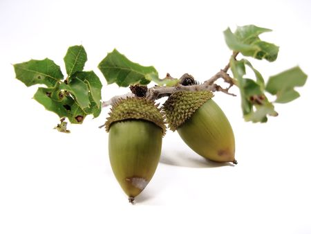 quercus: Branch of a Quercus Coccifera (Oak Tree) with several acorns isolated on a white background.