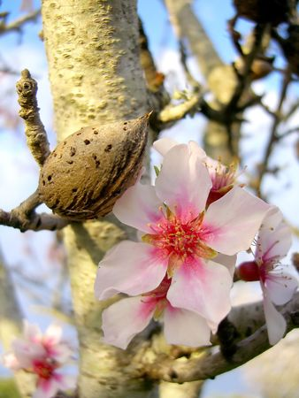 Almond blossom flowers, over shade with blue sky.