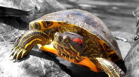 selected: Several turtles on top of each other, on center, one read-eared turtle selected on color.