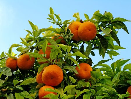 Many oranges hanging from the tree with many leaves surrounding them. Stock Photo - 2892553