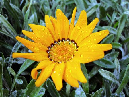 Closeup view of a Gazania Rigens orange flower with drops of water on leaves.  photo