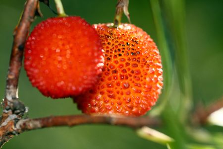 region of algarve: Closeup view of two red strawberry tree fruits hanging.