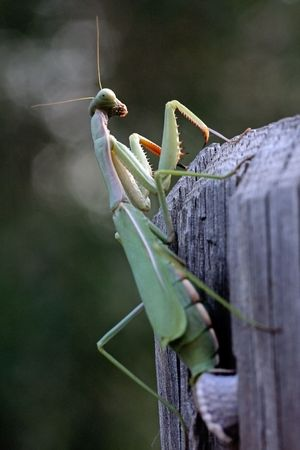 View of a green mantis religiosa insect laying eggs on a wood fence. photo