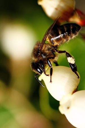 polen: Closeup view of a bee feeding of the polen of an Strawberry tree flower.