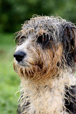 Closeup view of a head and neck of a domestic dog with his fur wet.
