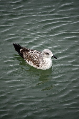larus: Downward perspective view of a juvenile gull swimming on the water.