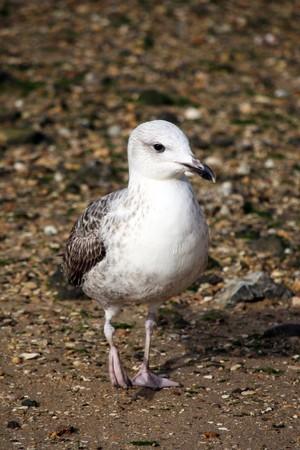 pebles: Juvenile gull walking down the sandy pebbled beach shoreline.