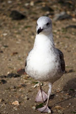 pebles: Juvenile gull walking on the sandy pebbled beach shoreline. Stock Photo