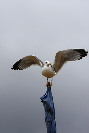legs wide open: View of a yellow-legged gull on top of a strapped flag with wide open wings. Stock Photo