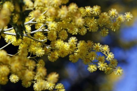 View of the acacia's tree blossom yellow flower in spring. Stock Photo - 5124417