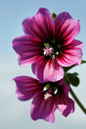 mallow: Close view of two purple mallow flowers over a blue sky.