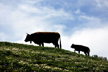 portugal agriculture: Group of brown cows on the green hills. Stock Photo