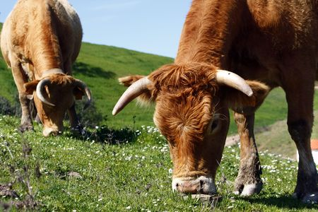 portugal agriculture: Two brown cows eating the green grass on the hills. Stock Photo
