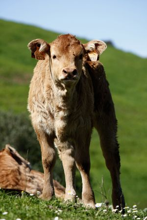 stares: Young brown cow stares at the camera.