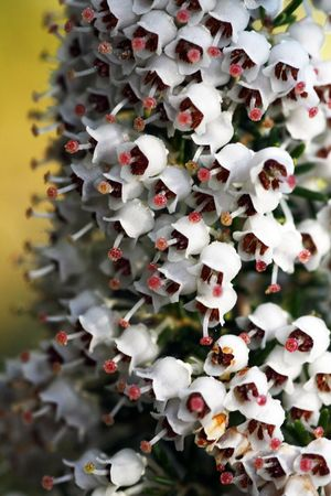 erica: Close view of little white bell flowers called Erica or Heather.