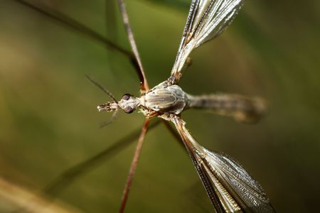 Macro view of a very large species of a mosquito type, called Crane Flies. photo
