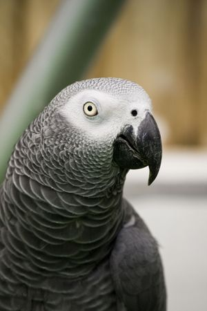 View of a african grey parrot on a performance show. photo