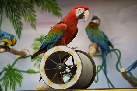 cilinder: View of a scarlet macaw performing a show on a cilinder.