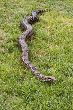 Full body view of a boa constrictor on the grass. Stock Photo - 6277495