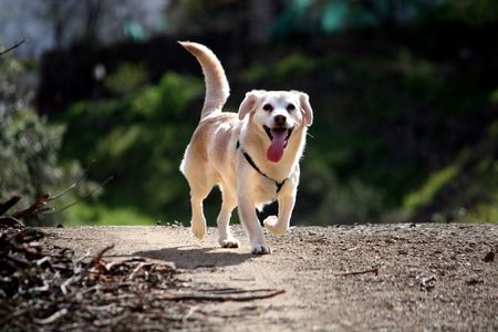 View of an domestic dog running on the dirt road.