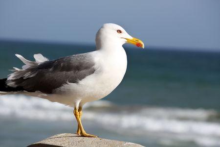 marine bird: Vista desde el lado, una observaci�n de aves marinas Gaviota al mar.