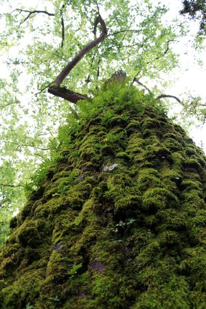 Close up view of the trunk of a tall tree with moss and small vegetation attached to it. photo