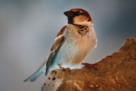 Close up view of a domestic sparrow bird on top of a log.