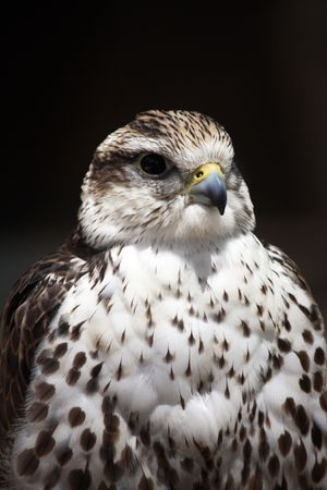 Close up view of the head of a saker falcon. photo