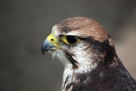 Closeup view of the head of a saker falcon. photo