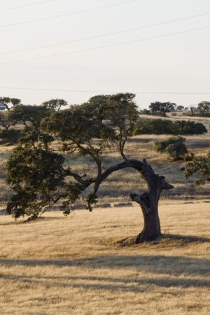 dryed: Curved holm oak tree on a dry grass field. Stock Photo