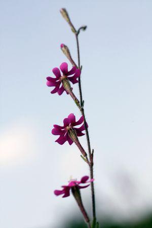 region of algarve: Upward view of three silene (Pink Pirouette) wild flowers on the Algarve interior region.