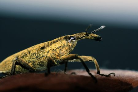 Macro view of a weevil insect isolated on a rock. photo