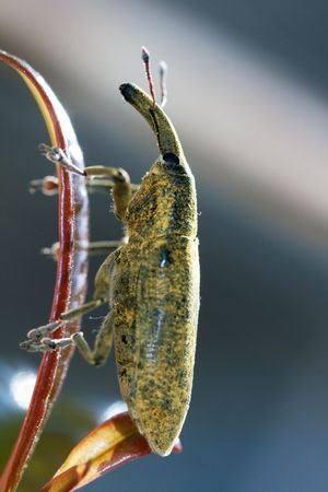 Macro view of a weevil insect on a leaf. photo