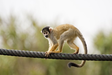 View of a Black-capped Squirrel Monkey walking on a big rope. Foto de archivo