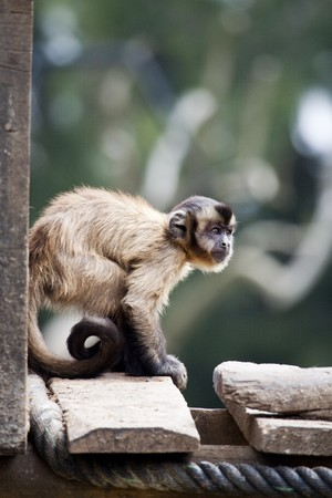 omnivores: View of a Black-capped Capuchin monkey on a zoo.