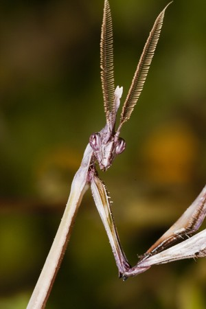 pennata: Close up view of a male empusa pennata insect.